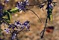 Petrea flowers, Bulawayo.jpg