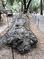 Petrified Redwood - Sequoia langsdorfii, Metasequoia - 4.jpg