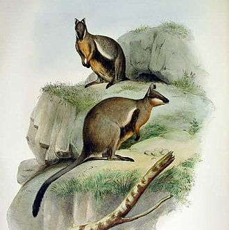 Black-flanked rock-wallaby - Illustration from Gould's Mammals of Australia, 1863