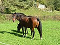 Pferde Weide - panoramio.jpg