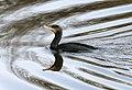 Phalacrocorax carbo (39763297602).jpg