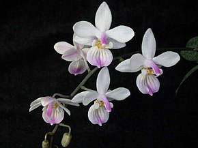 Description de l'image Phalaenopsis lindenii toapel.jpg.