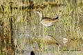 Pheasant-tailed Jacana, juvenile, at Nagpur, by Dr. Tejinder Singh Rawal.jpg