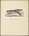 Phoca barbata - 1700-1880 - Print - Iconographia Zoologica - Special Collections University of Amsterdam - UBA01 IZ21100225.tif