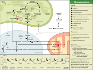 Photorespiration - Photorespiration