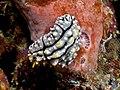 Phyllidia elegans (nudibranch).jpg