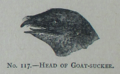 Picture Natural History - No 117 - Head of Goat-sucker.png