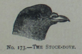 Picture Natural History - No 173 - The Stock-dove.png