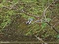 Pied Kingfisher (Ceryle rudis) (15707648979).jpg