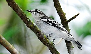 Pied triller - Image: Pied Triller male