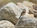 Pied Wheatear (Oenanthe pleschanka) (48051330446).jpg