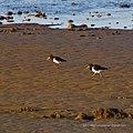 Pied oystercatcher on tidal strand Shorncliffe Bramble Bay Queensland IMGP4325.jpg