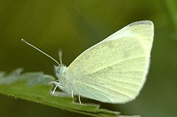 Pieris.rapae.2.jpg