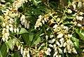 Pieris japonica Mountain Fire 3zz.jpg