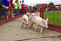 Pig Racing South Barrington IL.jpg