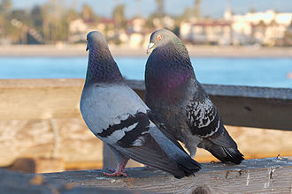 Feral pigeon - Courting pigeons in Santa Barbara, California