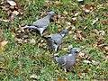 Pigeons ramiers Périgueux (2).jpg