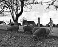 Pigs (6360153627).jpg