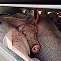 Pigs in a slaughter truck 2.jpg