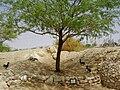 PikiWiki Israel 5090 sappir park in aravah valley.jpg