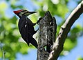 Pileated Woodpecker (34700265866).jpg
