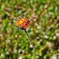 Pilosella aurantiaca-IMG 8569.jpg