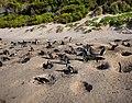 Pingviner på Boulders Beach (redigerad).jpg
