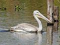 Pink-backed Pelican RWD2.jpg