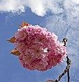 Pink Cherry Blossom 2 (4565992512).jpg