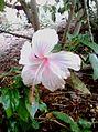 Pink Hibiscus flower (hibiscus rosa-sinensis) at Srikakulam in Andhra Pradesh.JPG