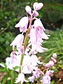 Pink Spanish Bluebells - geograph.org.uk - 1767413.jpg