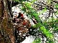 Pinka lesná 18 Slovakia1.jpg