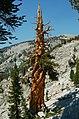 Pinus balfouriana oldtree1.jpg