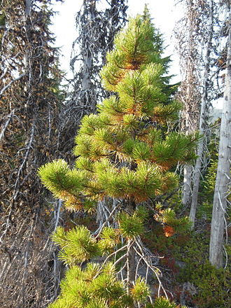 Pinus contorta - Pinus contorta subsp. murrayana near Three Fingered Jack in the Cascade Range in Oregon