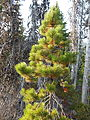 Pinus contorta in the Oregon Cascades.JPG
