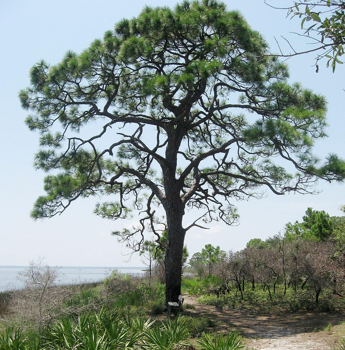 Pinus elliottii - Wikipedia