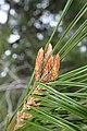 Pinus halepensis kz19 (Morocco).jpg