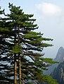 Pinus hwangshanensis trees.jpg