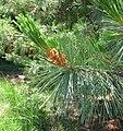 Pinus monticola closeup 20060624.jpg