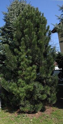 Un pianta di Pinus mugo