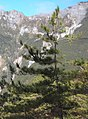 Pinus taiwanensis treetop.jpg