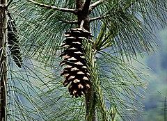 240px pinus wallichiana cone