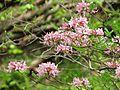 Pinxterbloom Azalea - Flickr - treegrow (1).jpg
