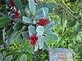 Pitsunda, Abkhazia, Flower.jpg