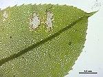 Plagiomnium medium (b, 144843-474719) 3230.JPG