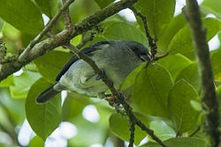 Plain-colored Tanager - Panama H8O9422 (23250427575).jpg