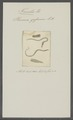 Planaria gesserensis - - Print - Iconographia Zoologica - Special Collections University of Amsterdam - UBAINV0274 105 09 0021.tif
