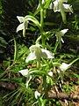 Platanthera chlorantha 24.jpg