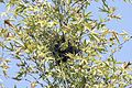 Platanus orientalis - Oriental plane, Karaisalı 2016 01-1.jpg