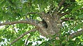 Platanus orientalis - crown and trunk.JPG